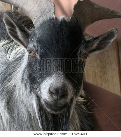 Portrait Of Black Goat