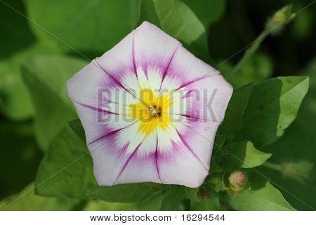 Convolvulus Tricolor Pink, White, Yellow