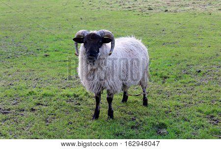Irish sheep in the countryside, County Kerry, Ireland.