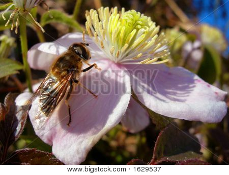 Close Up Ofhoney Bee On Clematis