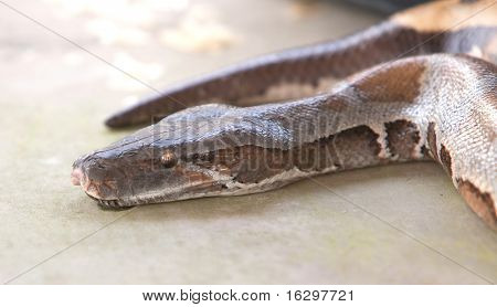 Boa slang, python