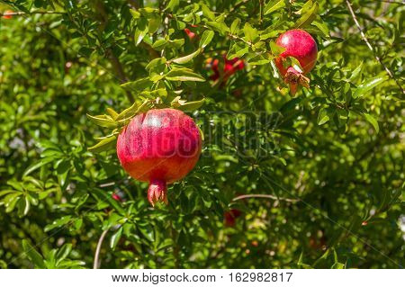 pomegranate ripening on the tree with green leaves