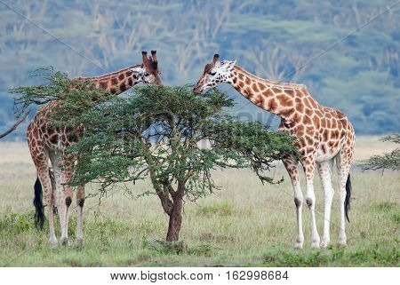 two adult giraffe in the African savannah Kenya