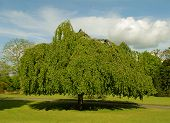 image of weeping willow tree  - Large old weeping willow tree with blue sky - JPG