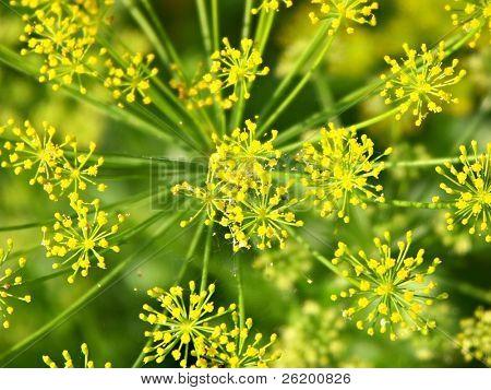 Dill Blütenstand