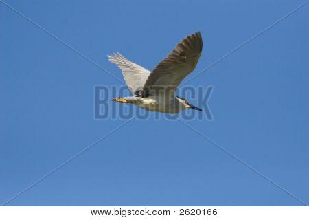 Blackcrowned Night Heron
