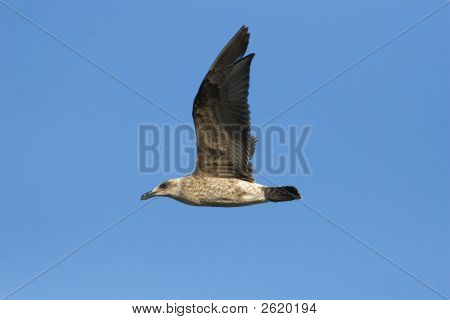 Cape Kelp Gull