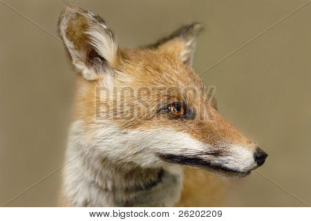 Closeup of fox head in habitat - selective focus