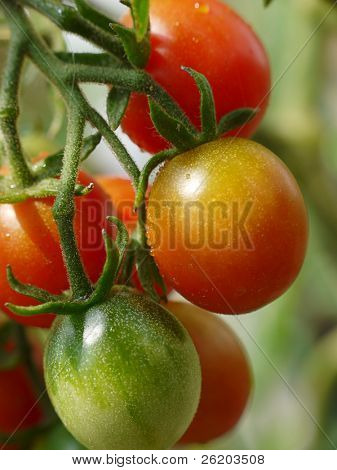 Bunch of tomatoes ripening on shrub