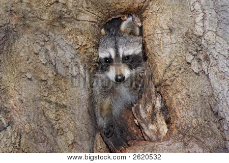 Baby Raccoon (Procyon Lotor)