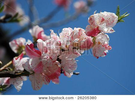 Flor de rosa cereja