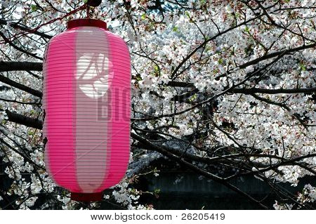 Lanterna japonesa sob a árvore de flor de cerejeira em Tóquio