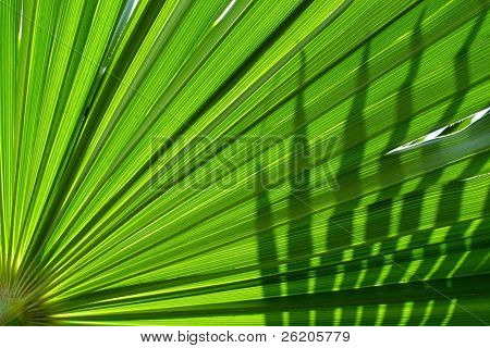 Palm leaf in backlight with shadow