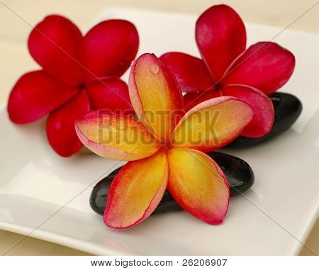 Tropical Frangipani on theraphy stone