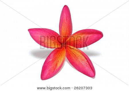 Tropical frangipani isolated on white background