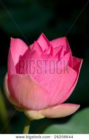 Japanese Pink Lotus