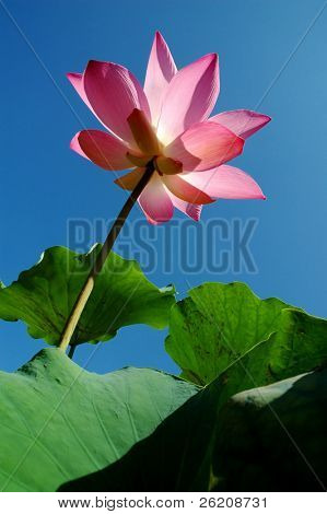 Pink Lotus in Frog Eye's View