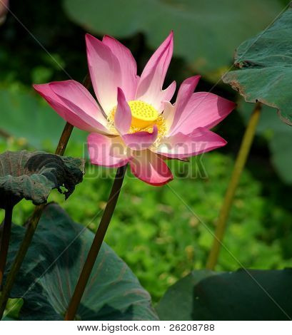 Japanese pink lotus in full bloom
