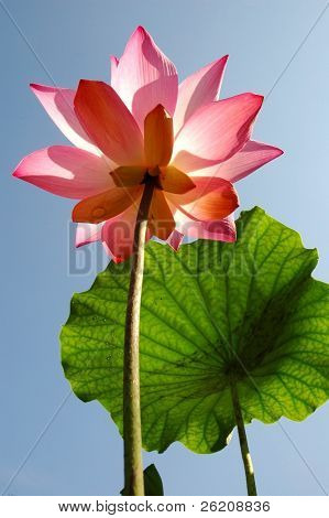 Pink lotus in full bloom