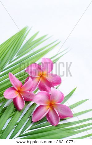 Tropical frangipani on palm leaf