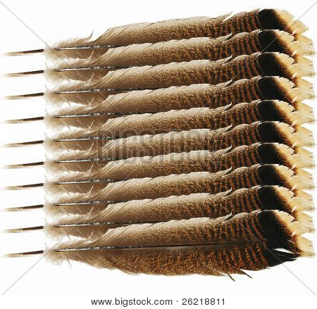 Tail feather of a wild Turkey repeated