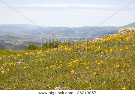 field of california poppy's and other wild flowers with mountains in the distance