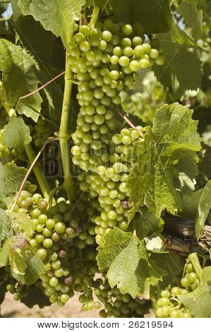 ripening red grapes on the vine in a vineyard in Napa Valley, California