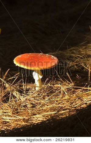 Amanita muscaria a variety of poisonous mushroom with hallucinogenic attributes