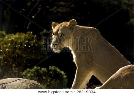 Attentive lioness sitting on a rock outcrop
