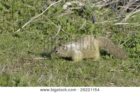Colombian Ground Squirrel (spermophilus columbianus) feeding