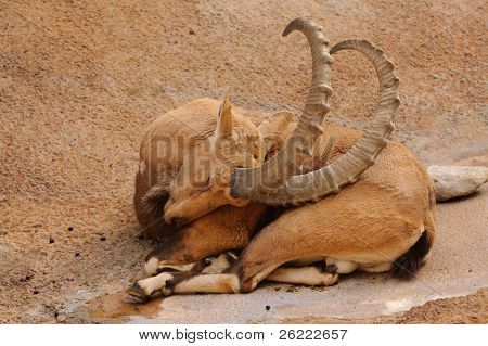 Scimitar horned Ibex sleeping