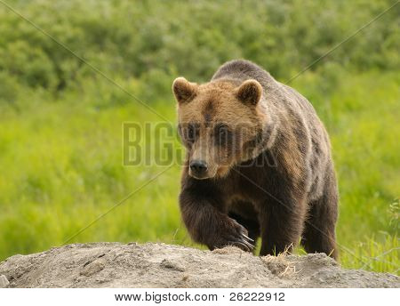 Alaskan Grizzly Bear Wandern in Richtung des Viewers