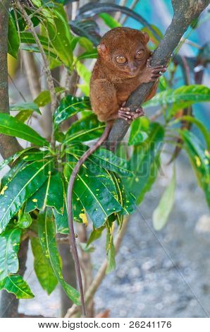 Tarsier - the smallest of all primates sitting on a branch
