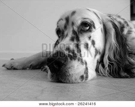 An English Setter looking sad and bored in a rainy day
