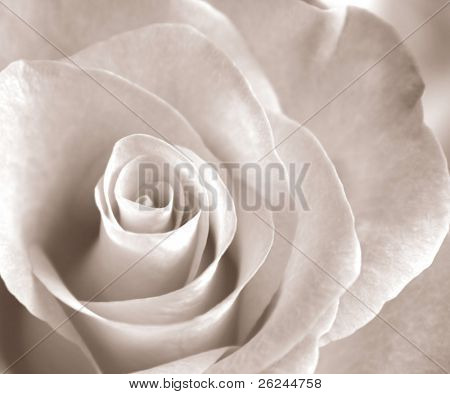 Soft sepia rose