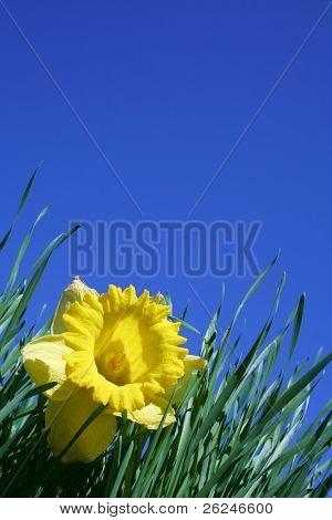 Narzisse gegen ein brillant blauen Himmel