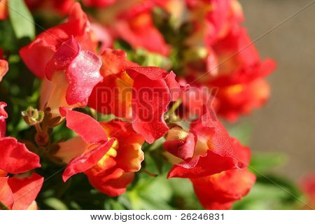 profusion of red snapdragon flowers with the dew of the early morning