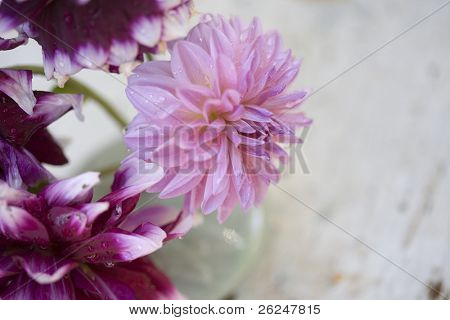 Dahlia with grunge copyspace