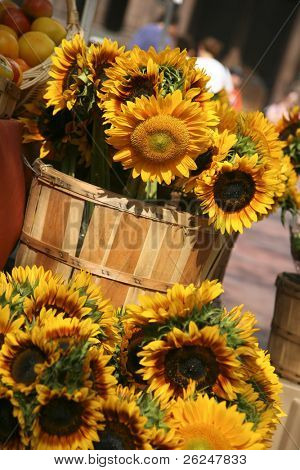 Sunflowers for sale in Copley Square in Boston Massachusetts