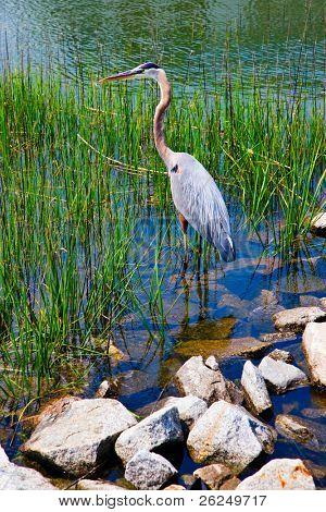 Blue Heron in Hilton Head, South Carolina