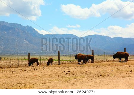 bison in Albuquerque