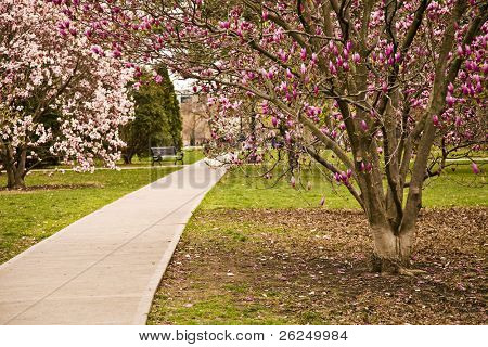 Goodale Park in Columbus, Ohio in the spring with the magnolias in bloom