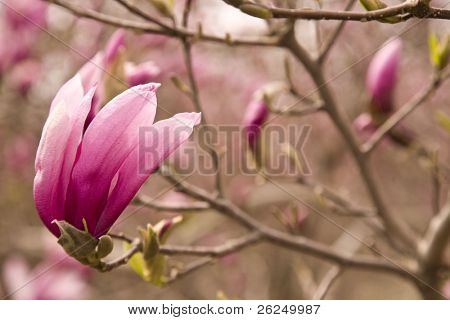 Magnolia blossom in Goodale park in Columbus, Ohio