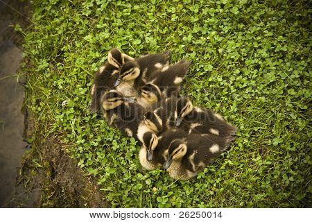 Newborn baby Mallard ducklings