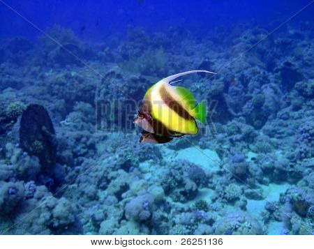 Two Heniochus Black & White butterflies.Red sea