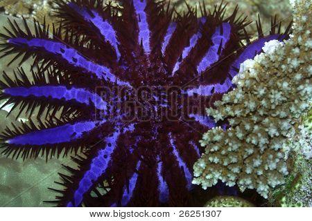 Crown of Thorns (Acanthaster planci). Maldives. Indian ocean. Addu atoll.