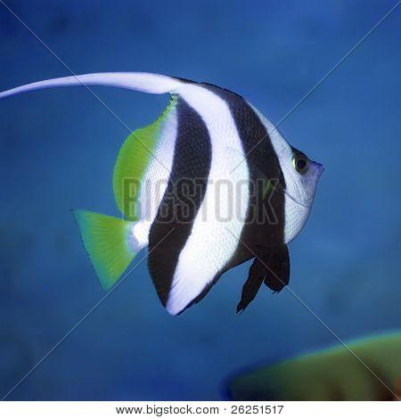 Long-fin banner-fish. Borneo island