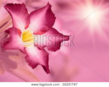 Floral background. Pink Adenium flower. Desert rose.