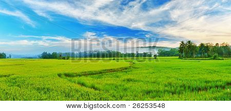 Panorama of the paddy rice field. Philippines