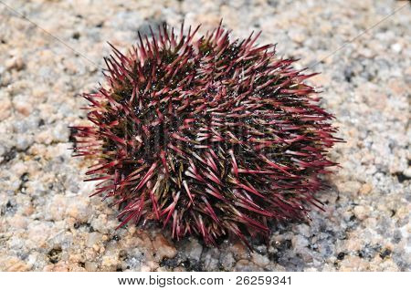 gray sea urchin echinuses -  underwater wildlife of the sea of japan